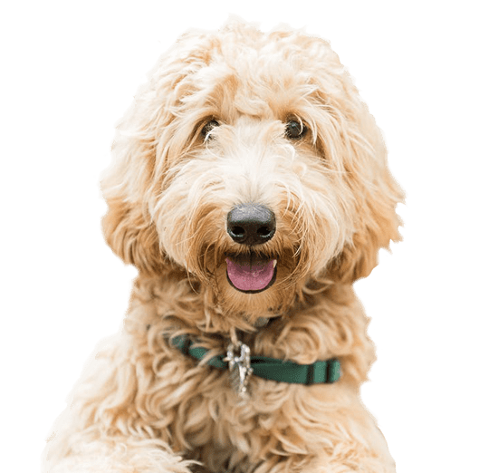 LabraDoodle Intellileash Home page banner